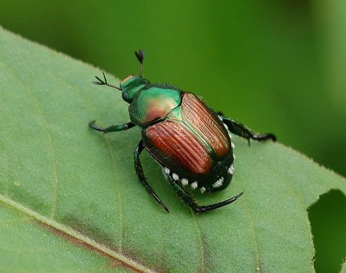 japanese-beetle-reddit
